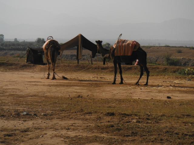 De eerste kamelen