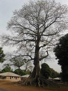 Meer dan 30 meter hoge Baobab boom