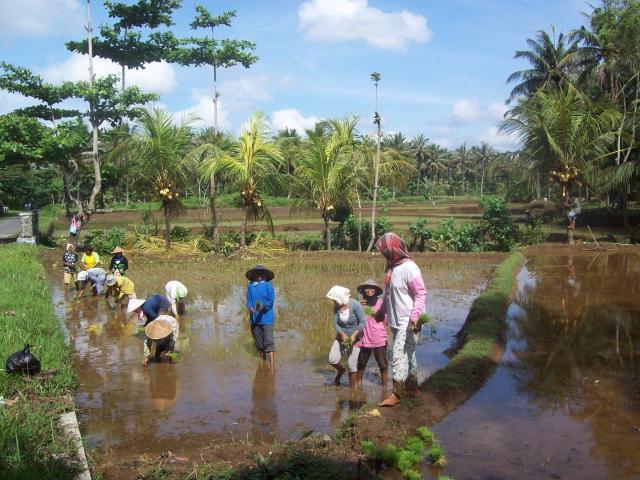 In de rijstvelden